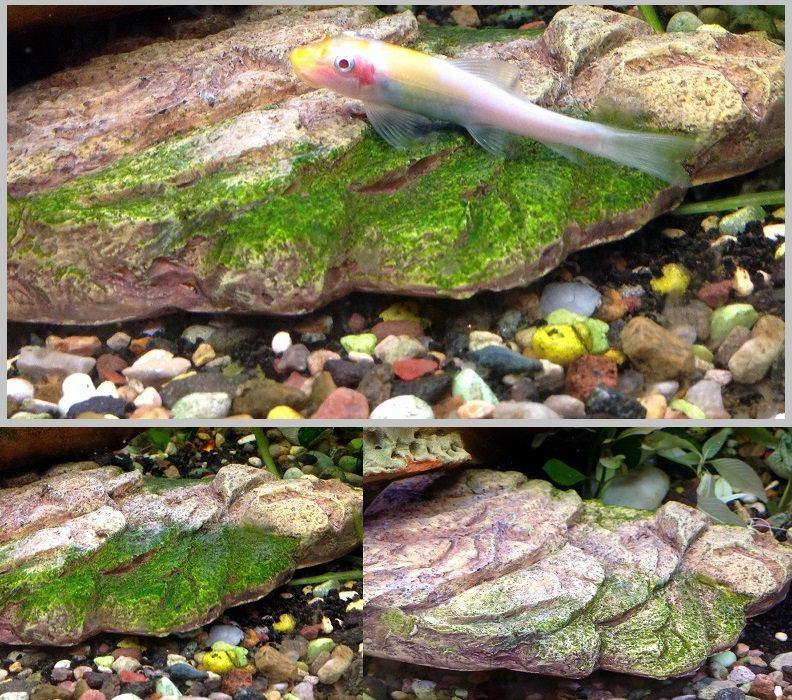 отоцинклюсы и другие водорослееды