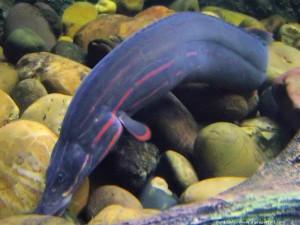 Макрогнатус глазчатый, или аквариумный угорь