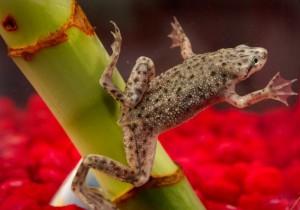 Аквариумная лягушка правила содержания и ухода