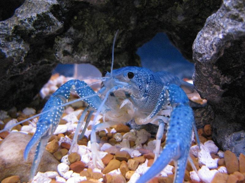Виды аквариумных раков