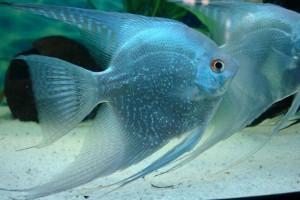 Скалярии: содержание в аквариуме
