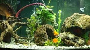 a large aquarium for parrot fish