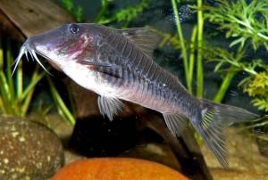 Аквариумные рыбки: сомики