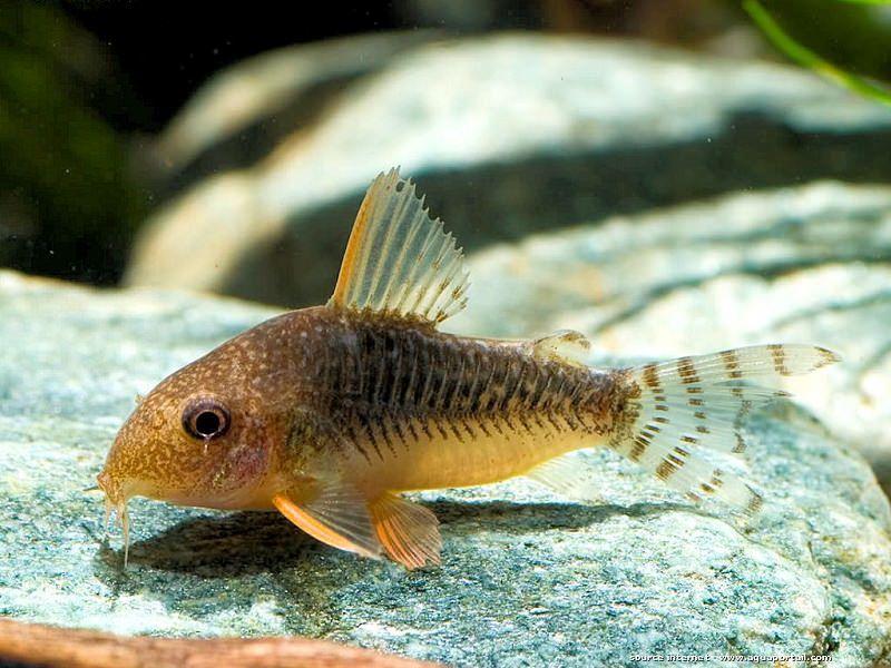 Аквариумные рыбки сомики: коридорасы и самые маленькие сомики