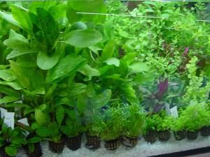 аквариумные растения болезни и лечение
