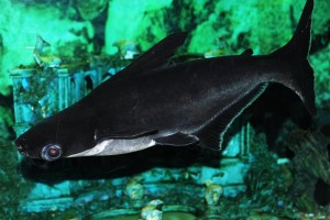 аквариумная акула