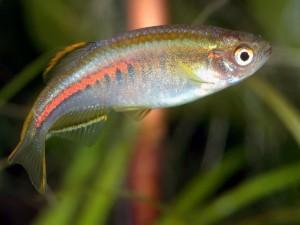 данио аквариумные рыбки