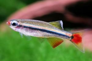 кардинал рыбка аквариумная