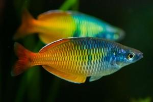 радужница рыбка для аквариума