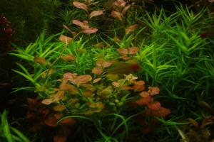 людвигия в аквариуме