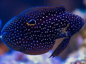 морской петушок
