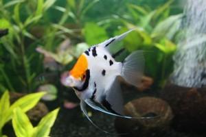 Скалярия совместимость с другими рыбами
