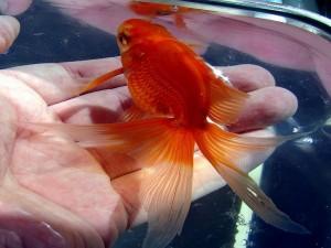 золотые рыбки аквариумные виды