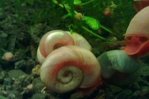 катушка улитка в аквариуме