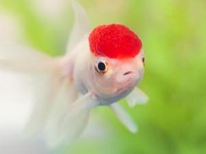 оранда рыбка