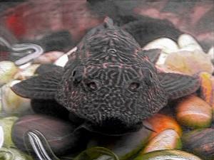 плекостомус аквариумный сомик