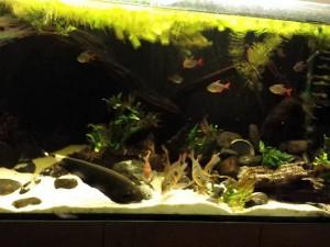 рыба нож аквариумная