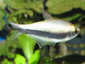 Аквариумные рыбки тетра