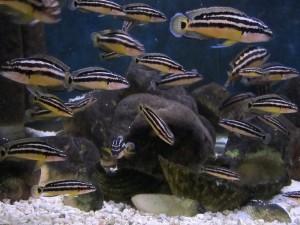 Юлидохромисы Аквариумные виды