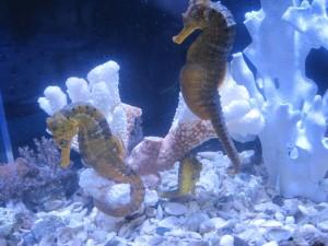 конек для аквариума