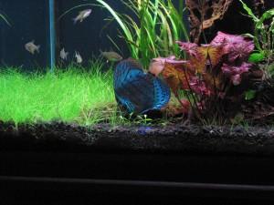 нимфея в аквариуме