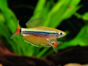 рыбка лилипут
