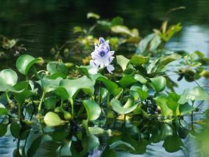 водный гиацинт в аквариуме