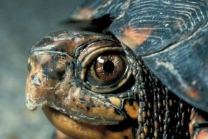 Как ухаживать за черепахой в домашних условиях