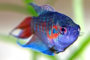 Макропод рыбка содержание и уход