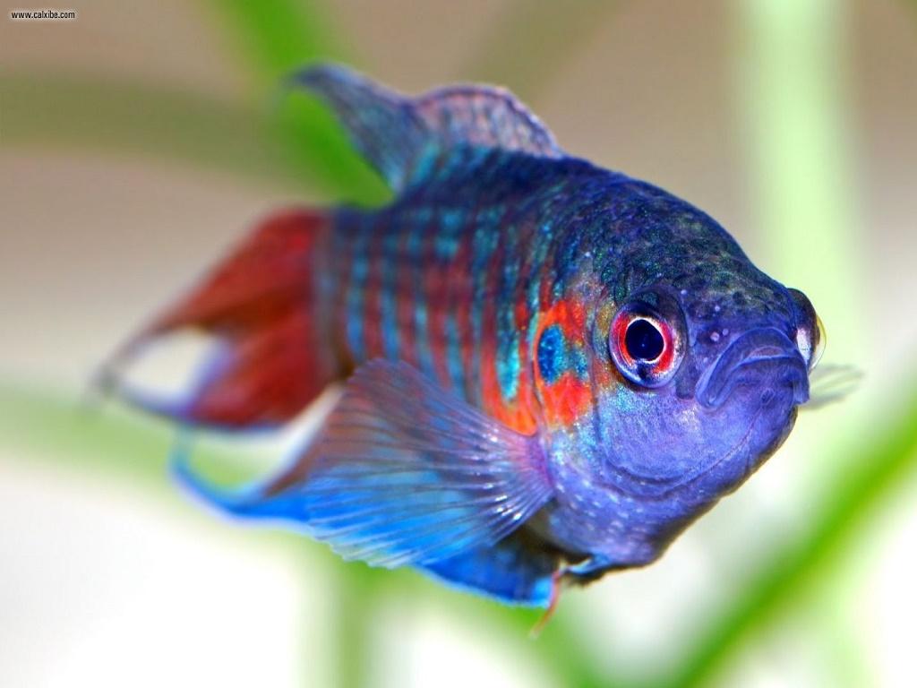 Аквариумная рыбка Макропод черный (Macropodus concolor). Фото, описание, содержание, уход и разведение