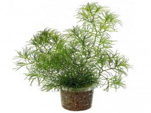 Наяс аквариумное растение