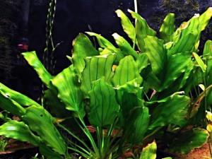 Содержание эхинодорусов в аквариуме