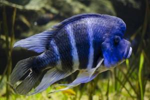 Фронтоза аквариумная рыбка