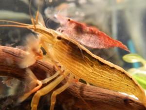 креветка фильтратор размножение