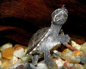 Мускусная черепаха содержание