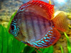 самая умная аквариумная рыбка