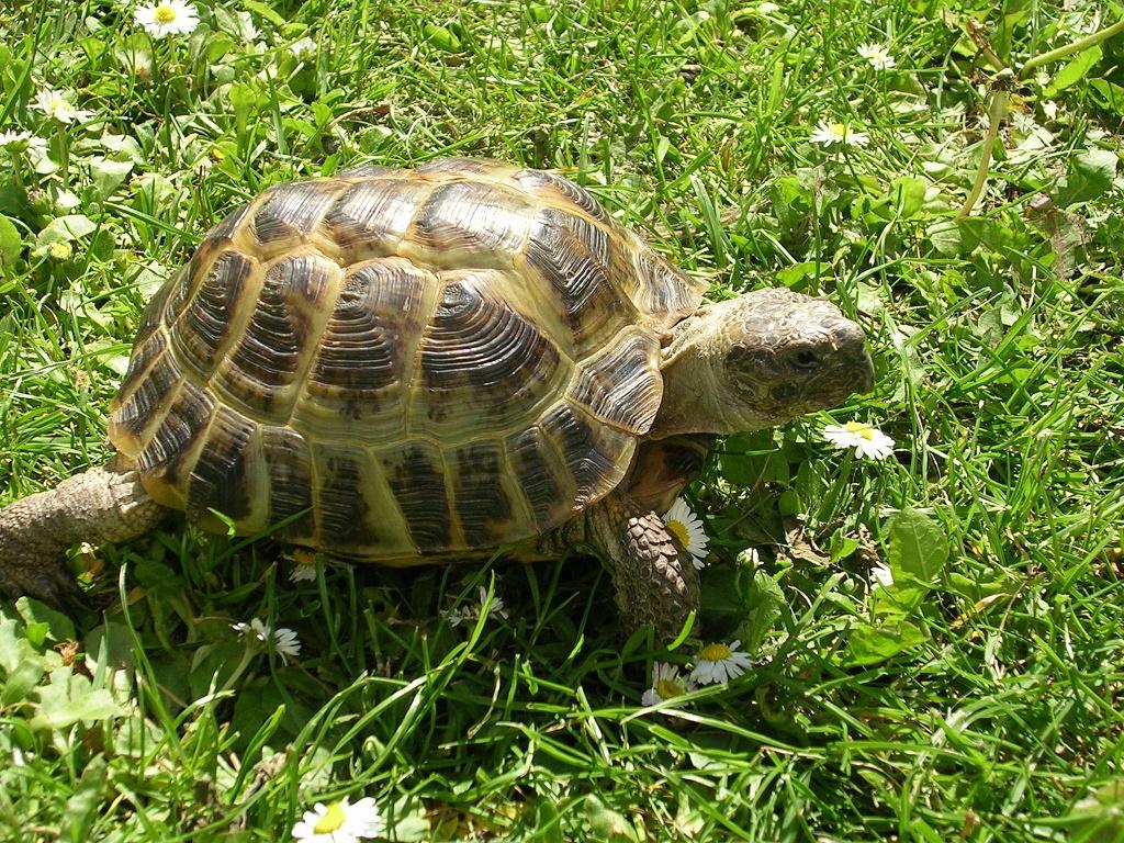 Черепахи в домашних условиях, сколько могут жить: морская, сухопутная черепаха и среднеазиатская черепаха