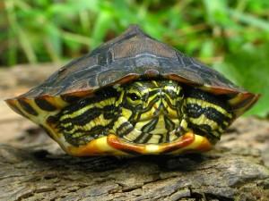 Как определить возраст черепахи красноухой