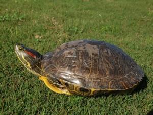 Как определить пол красноухой черепахи