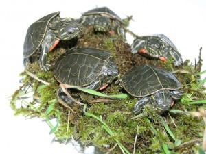 Как определить пол черепахи сухопутной?