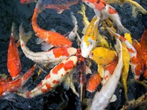 Карп кои содержание в аквариуме