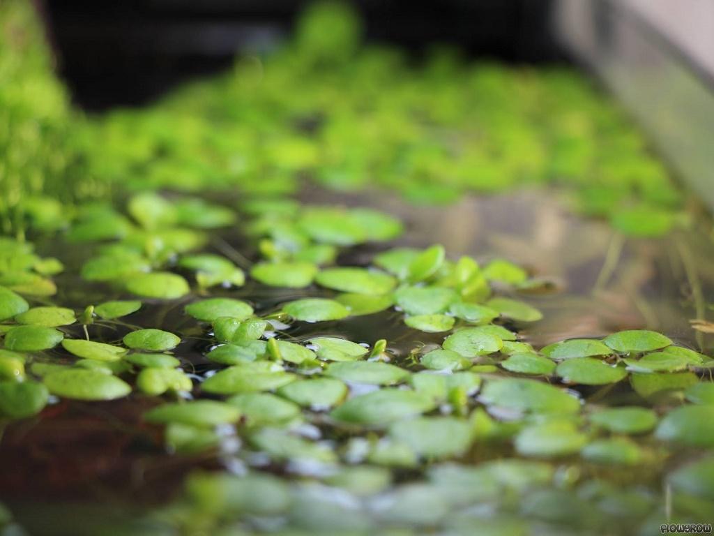 Лимнобиум содержание в аквариуме