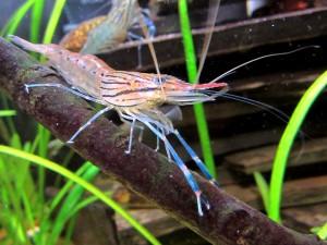 Макробрахиум креветка