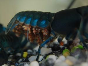 Ябби рак для аквариума