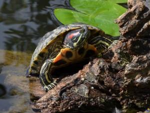 Красноухая черепаха болезни и лечение