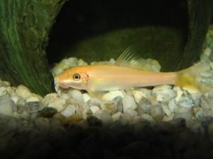 Гиринохейлус - китайский водорослеед