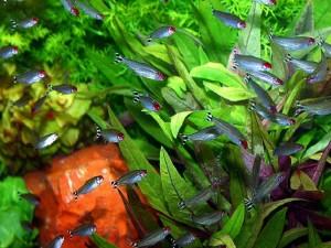 Родостомус - аквариумная рыбка