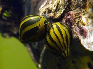 неринита улитка для аквариума