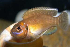 лампрологус виды