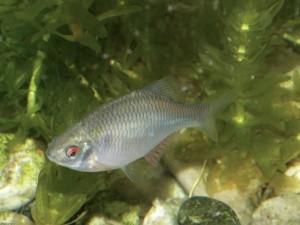 Рыба горчак содержание в аквариуме